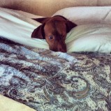 "Sadie ""helping"" make the bed."