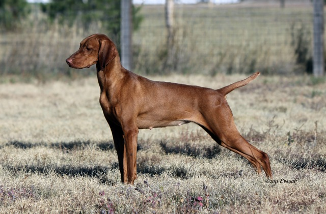 Vizsla Puppies for Sale Texas USA