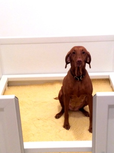 Lali inspecting the whelping box